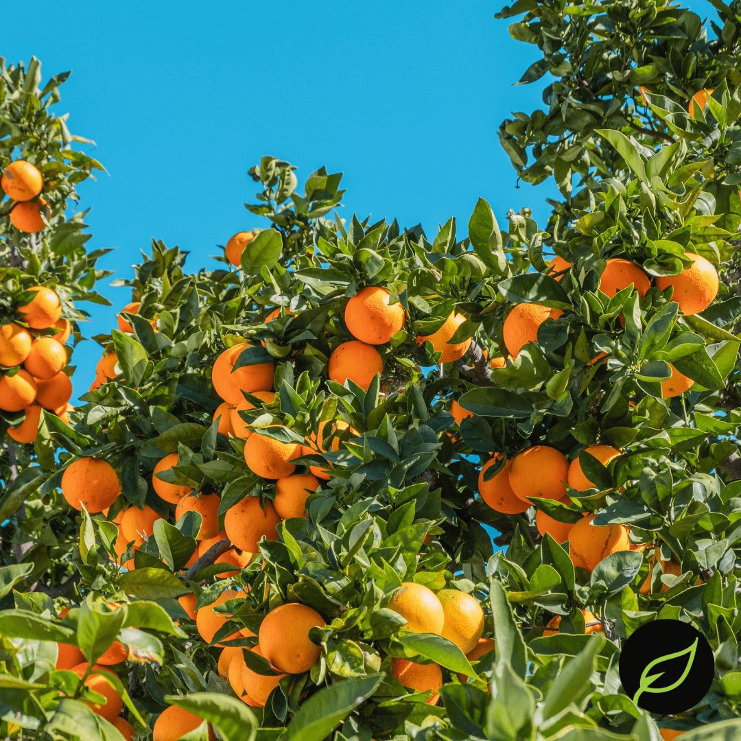 City Wide Produce's oranges are grown in California